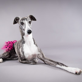 Diva the Dancer by Jen St. Louis - Animals - Dogs Portraits ( studio, tutu, portrait, dog, whippet,  )