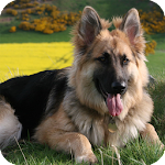 German Shepherd Live Wallpaper