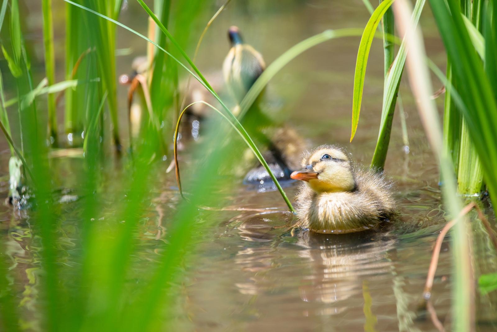 Photo: 楽しい探検 Fun exploratory play.  茂みの中を わくわく探検 あれもこれも まわりは気になるものばかり  Baby of spot-billed duck. (カルガモの赤ちゃん)  #birdphotography #birds #cooljapan #kawaii #nikon #sigma  Nikon D800E SIGMA 150-600mm F5-6.3 DG OS HSM Contemporary  ・小鳥の詩朗読 /poetry reading https://youtu.be/i0tW-x1Nr-s?list=PL2YtHGm0-R3qVsaqvQe9OYdJFCkI98wzF