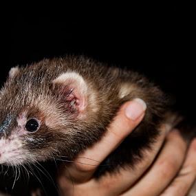 FERRET2 by Eric Klein - Animals Other Mammals ( photoop, vetpics, radiokop, fun, ferret )