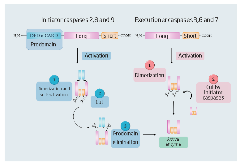 Apoptotic initiator and executioner caspases structure and general process of activation.