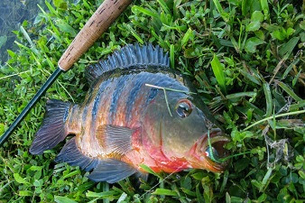 USA Fly Fishing Adventure - Part VI - Florida Mayan Cichlids