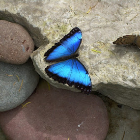 Blue Butterfly by Candice Monaghan - Animals Insects & Spiders (  )