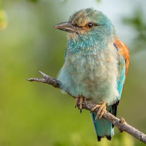european roller fluffed up by Peter Schoeman - Animals Birds ( fauna, coracias, south-africa, feather, birds, close, predator, perched, nature, tree, european roller, rollers, isolated, wild, animals, wing, national, claws, tail, european, branch, europe, african, colorful, wildlife, birdwatching, exotic, roller, southern, ecology, kruger, africa, garrulus, animal, look, park, creature, avian, beautiful, bird, flight, hunter, migratory, wilderness, unspoiled, blue, color, background, outdoor, south )