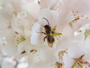 Photo: Bee on cherry blossoms at Eastwood Park in Dayton, Ohio.