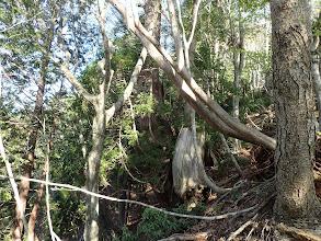 巨木が見られだす