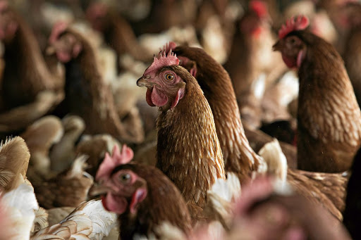 Higher chicken import tariffs will push up prices and inflation