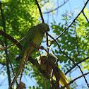 periquito-rabo-de-junco