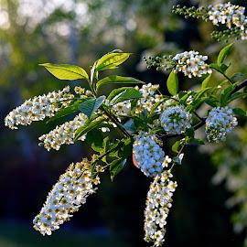 Shooting Blossoms by Rob Bradshaw - Flowers Tree Blossoms ( spring flowers, white blossoms, tree blossoms, university of washington, shooting blossoms )