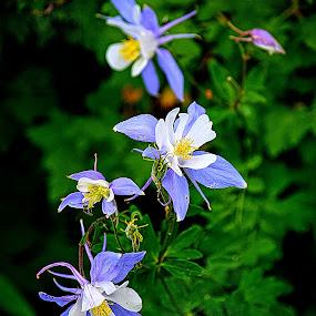 Columbine by Rob Bradshaw - Flowers Flowers in the Wild ( blue flower, wildflower, flowers, colorado state flower, columbine, flower in the wild )