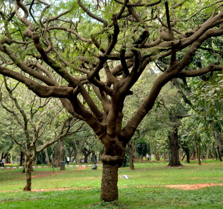 Cubbon Park - Tree. by Vinod Rajan - City,  Street & Park  City Parks ( greenery, nature, tree, trees, park,  )