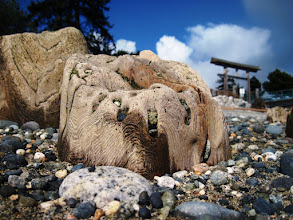 Photo: These pilings are some of the remnant of the old wharf that ran out to sea from the bottom of Wharf Street in Sechelt BC. As the ocean rearranges the rocks some pilings become exposed while others disappear again for a time. There isn't very much left except for these worn, rock festooned, nubbins.