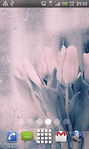 Rain Drop Tulips Live Wallpape