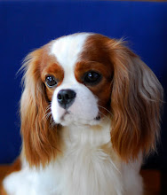 "Photo: Cavalier King Charles Spaniel ""Cash"" (2 y.o.)"