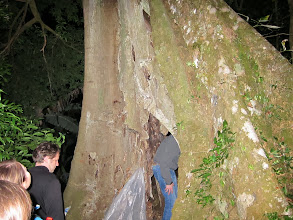 Photo: Looking inside the rotted out tree taken over by a strangler fig
