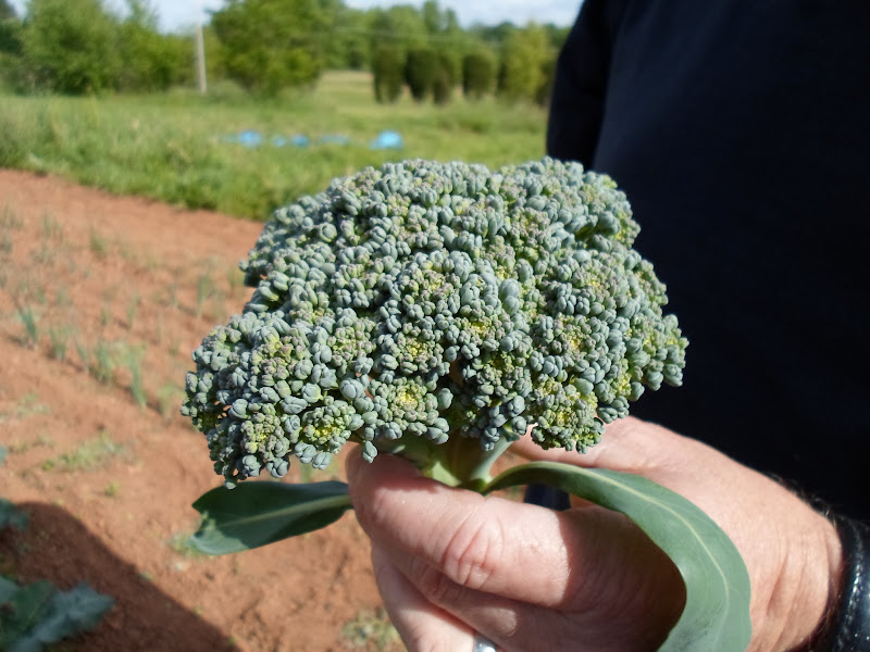 Photo: 1st bunch of broccoli this year.
