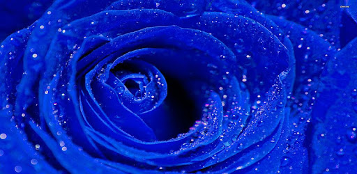Blue Rose Wallpaper Apps On Google Play