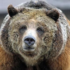 Yellowstone bears 076_edited-4.jpg