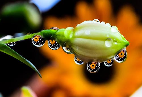 fushia with rain drops reflections by Kathy Dee - Abstract Water Drops & Splashes ( abstract, fushia, water, reflection, beautiful, image, close-up, up, close, macro, winter, nature, artistic, drops, symmetry, flower, rain,  )