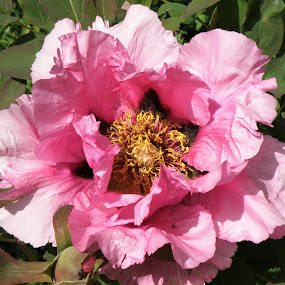 peony1 by Sue Rickhuss - Flowers Single Flower
