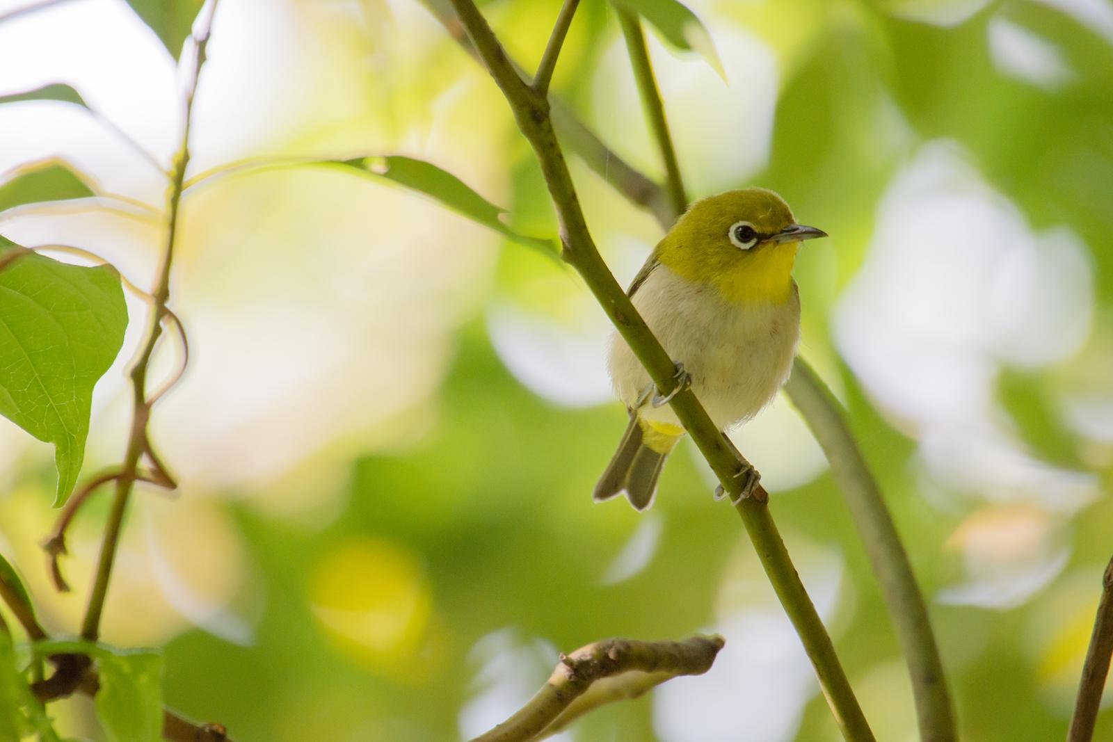 Photo: 緑に溶け込んで Blend into the green.  森は徐々に湿り気を帯び 葉が生い茂る 小さな住人達は 緑に溶け込みながら 遊ぶように飛び回る  Japanese White-eye. (メジロ)  #birdphotography #birds  #cooljapan #kawaii  #nikon #sigma  Nikon D7200 SIGMA APO 50-500mm F5-6.3 DG OS HSM  ・小鳥の詩朗読 /poetry reading https://youtu.be/0NF9wz8rHvE?list=PL2YtHGm0-R3qVsaqvQe9OYdJFCkI98wzF