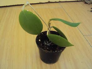 Photo: Hoya mindorensis de mamiuki