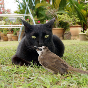 Is it really a bird? by Shamsudin Mahadi - Animals - Cats Playing ( bird, playing, confused cat, black cat, animal )