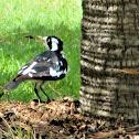 Magpie Lark aka Peewee