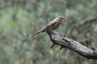 Photo: Phoenicurus phoenicurus
