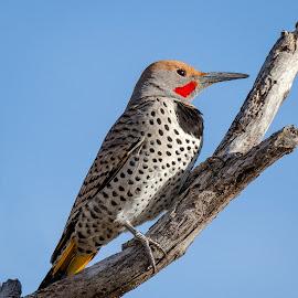 Northern Flicker by Dave Lipchen - Animals Birds ( northern flicker )