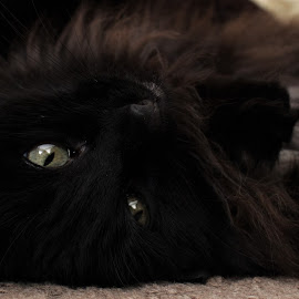 pet me  by Kristina Woodward-Roth - Animals - Cats Playing ( playing, silly, cat, close up, black,  )