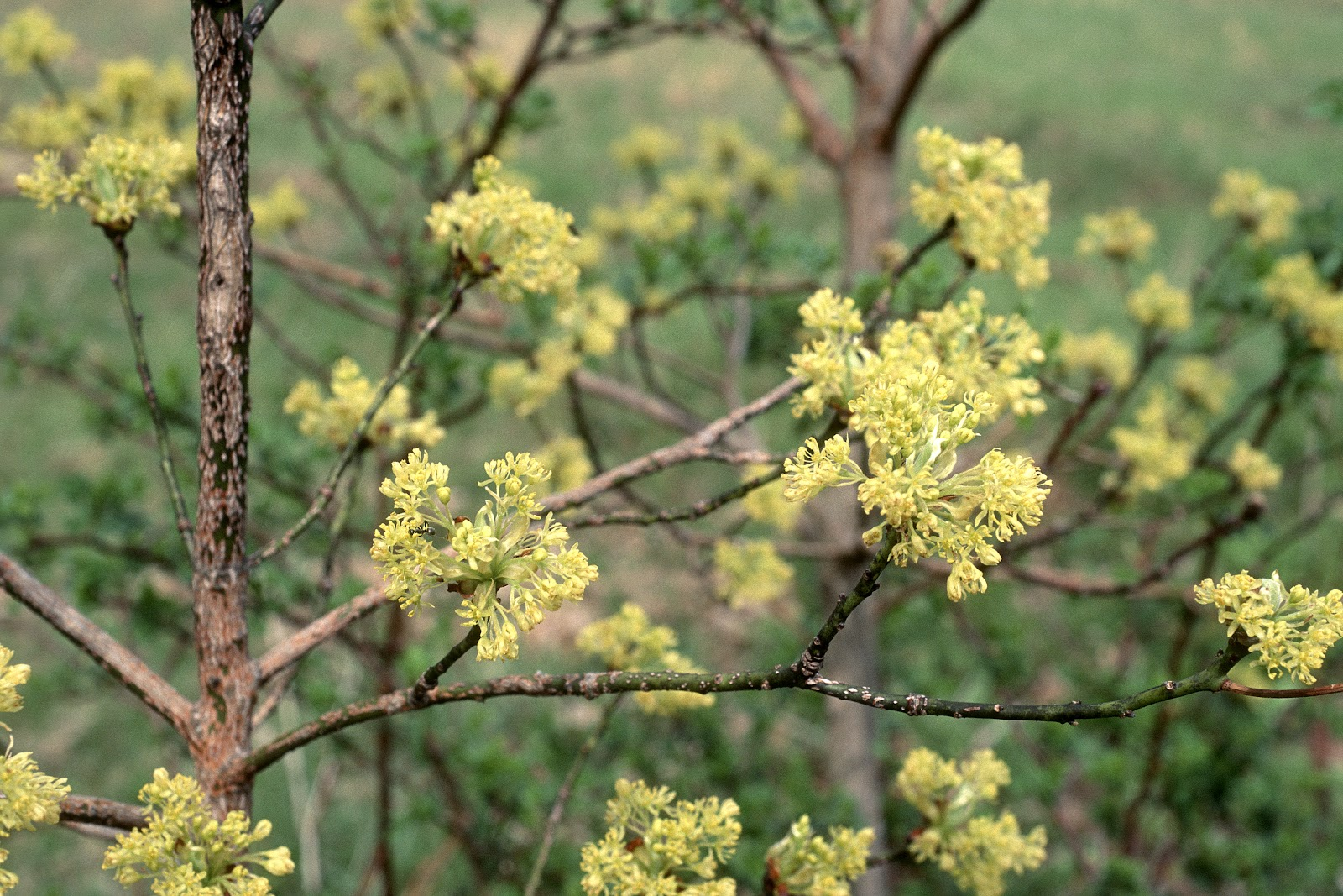 CI-Bailey-Nurseries-Sassafras-Sassafras Albidum-Flower.jpg