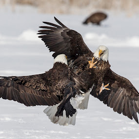 Mixing It Up by Jerry Alt - Animals Birds ( bird, eagle, fight, snow, bald )