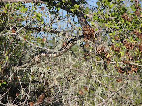 Photo: An indigo snake about 6 feet long. He was moving fast and his head is off screen on the left.