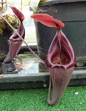 Photo: Nepenthes densiflora (?)
