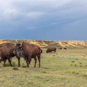 Bison on Smokey Valley Ranch  by Jim Talbert - Animals Other Mammals ( landscapes, sky, canon 5d mkiv, logan co, nature, kansas, beautiful kansas, canon, smokey valley ranch, kansas magazine, bison, landscape, only in kansas )