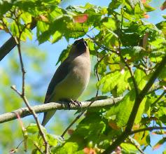Photo: Cedar Waxwing:  http://www.allaboutbirds.org/guide/cedar_waxwing/id