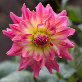 Pink And Yellow Dahlia by Janet Marsh - Flowers Single Flower ( pink, dahlia, yellow )