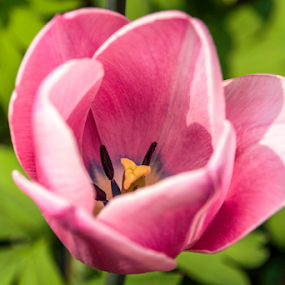 Pink Tulip by Rick Touhey - Flowers Single Flower ( tulip, pink, garden, flower, pink tulip,  )