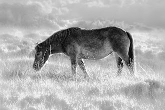 Photo: Grazing on Exmoor (© Clive Haynes)