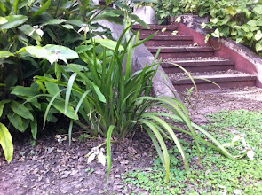 Photo: Neomarica candida (Lirio misionero o Orquídea de los pobres)