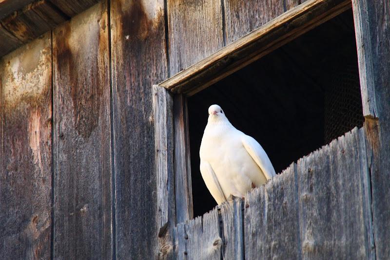 Paloma blanca. di Petruzzo