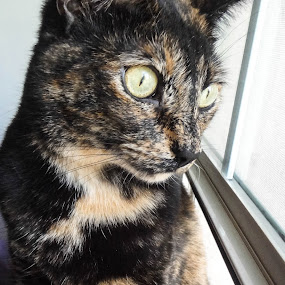 focused by Serenity Deliz - Animals - Cats Portraits ( red tortoise shell, cat, kitty )