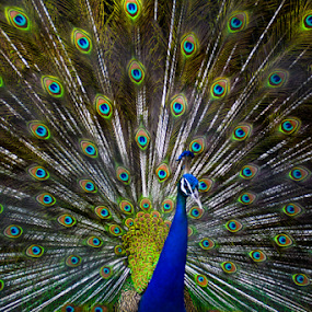 Peacock Wings Spread by Ananth Eswar - Animals Birds ( blue, wings, indian national bird, peacock wings spread, peacock,  )