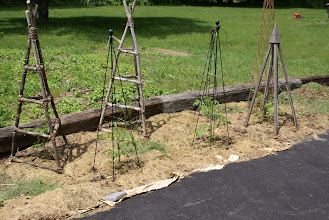 Photo: 5-11 Tomatoes in the ground -