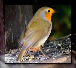 Photo: vörösbegy (Erithacus rubecula)
