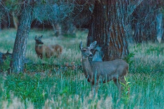 Photo: Deer at dusk seen from Sky Mountain Resort RV Park, Chama NM