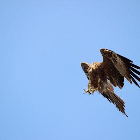 The Headless Royalty by Seema Nair - Animals Birds ( #hawk #bird #flying #birdsofprey #wings,  )