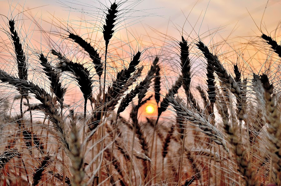 a view of sun set from wheat field by Amrit Sidhu - Landscapes Sunsets & Sunrises