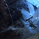 Funnel Web Grass Spider